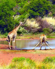 It is so hard to drink! - Pilanesberg National Park, Africa Copyright: Livia Comandini