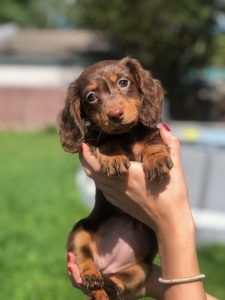 Harper the mini dachshund Mini Dachshund, Dachshund Puppies, Dachshunds, Bugs, Animals, Dachshund, Animales, Animaux, Weenie Dogs
