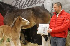 Head of Budweiser Clydesdales tells baby foal she won the USA Today Ad Meter