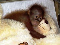 Orangutan conservation in Indonesia. Assist orangutan conservation efforts in Indonesian Borneo, from days) ex flights. Cute Baby Animals, Animals And Pets, Funny Animals, Strange Animals, Primates, Orangutan Sanctuary, Baby Orangutan, Borneo Orangutan, Cute Monkey