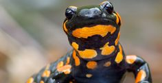 salamander photo by Jasius/Getty: Whether black-bellied or red-backed, blue- or white-spotted, gray-cheeked or four-toed, all of America's nearly 200 salamander species face a threat with potentially disastrous consequences.