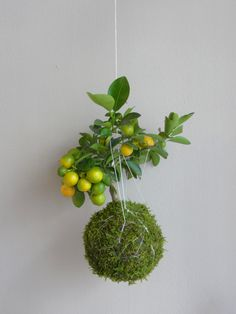 kokedama with lemon tree