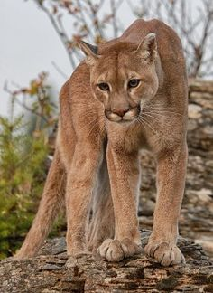 beautiful-wildlife:  Cougar by Wade Aiken
