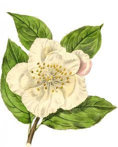 Vintage White Flower Graphic