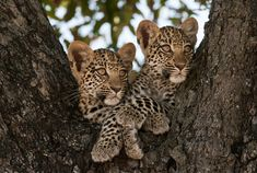 Two baby Leopards relaxing in a tree Safari Animals, Baby Animals, Funny Animals, Cute Animals, Animal Babies, Leopard Cub, Baby Leopard, Funny Animal Pictures, Dog Pictures