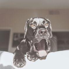 Dog face.  #puppygram #puppy #labgram #whatthestick #labtime #blacklabrador #labpuppy #instapuppy #teamcanon #canon5dmarkiii #5dmarkiii #5d #canonphotography