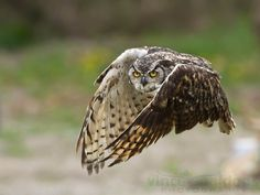 Great Horned Owl Incoming, one of my faves and has served me very well in contests!