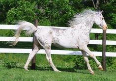 Arabian stallion R Khasper - DNA tested dominant white (W3 mutation)