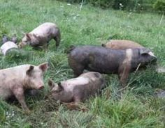 How to Raise Pastured Pigs Without Buying Feed: When done…