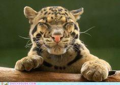 Happy, happy leopard.