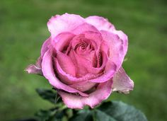 Beautiful Rose in HDR | Flickr - Photo Sharing!
