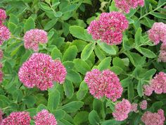 Teresa's Garden Song: Easy Propagation of Sedum Perrenials - Modern Perrenial Flowers, Flowers Perennials, Autumn Garden, Summer Garden, Sun Garden, Shade Garden, Garden Bed, Easy Garden, Outdoor Plants