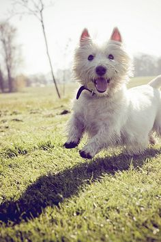 ♥ West Highland White Terrier smiling