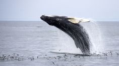 5 Unique Ways to See Whales in their Natural Habitat // Image: Whale-watching, Grand Manan Island, New Brunswick Canada. East Coast Canada, All About Canada, New Brunswick Canada, Atlantic Canada, Excursion, Prince Edward Island, Whale Watching, Travel And Leisure, Canada Travel