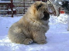 Tibetan Mastiff Puppy...melts my heart lol