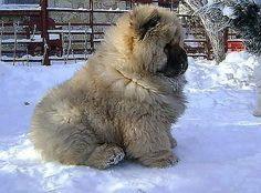 Tibetan Mastiff - ohh myy goodness