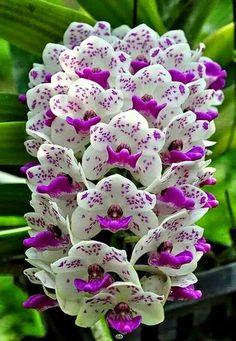 Rhynchostylis (Foxtail Orchid) Orchid