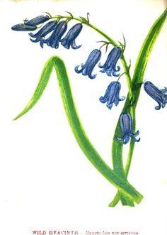 Wildflower Sketches   wild hyacinth wildflower sketch