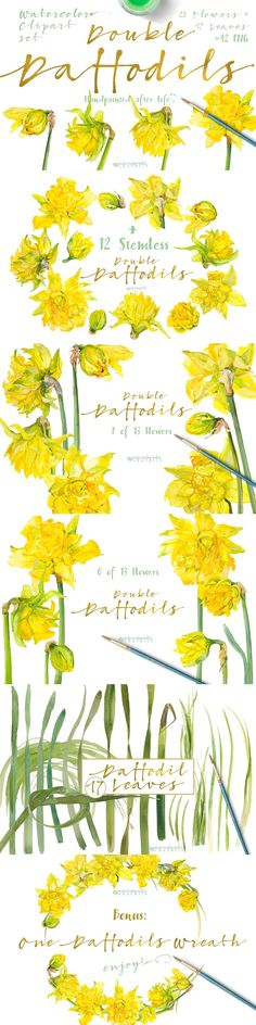 Double Daffodils by watercolorwild.graphics on @creativemarket