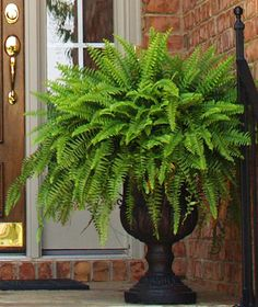 Boston Fern Said to act as a natural air humidifier, removes formaldahyde and is a general air purifier. Said to be among the best in air purifying houseplants. Potted Plants For Shade, Potted Ferns, Faux Plants, Indoor Plants, Fern Planters, Outdoor Planters, Outdoor Gardens, Outdoor Decor, Container Plants