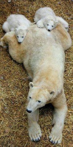 MaMa Polar Bear with Cubs