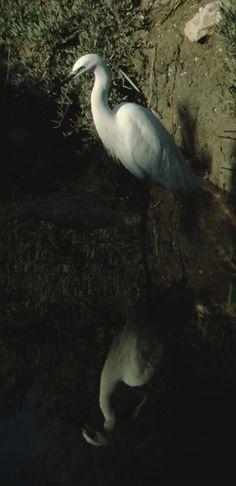 Francia-Camargue Egretta garzetta (Garzetta )