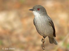 Fire-eyed diucon (xolmis pyrope) is a passerine bird of South America belonging to the tyrant flycatcher family Tyrannidae. It is usually placed with the monjitas in the genus Xolmis but was sometimes placed in its own genus Pyrope in the past.