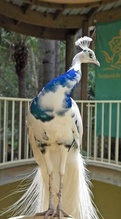 Piebald Peacock, so gorgeous in blue and white...