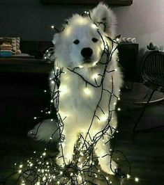 I'm trying to decorate the Christmas tree and got all tangled up.