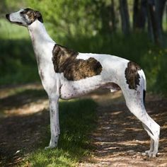 Exercise and the Greyhound