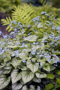 'Jack Frost' Heart-leaf Brunnera (Brunnera macrophylla 'Jack Frost')