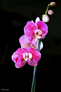 1000 Images About Orchids On Pinterest Orchid Tattoo