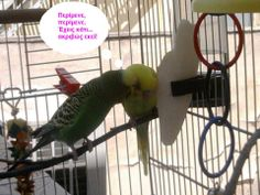 Woody and Buzz the budgies