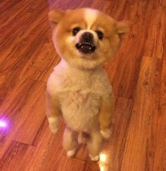 Doggy gets upset over his new haircut, walks around on hind legs like a boss for two days