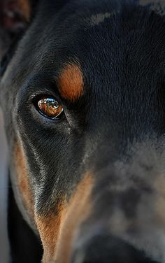 Dobermans are such loving dogs! I grew up with them and loved them to death! Sinbad and Aries. This dog looks like Aries