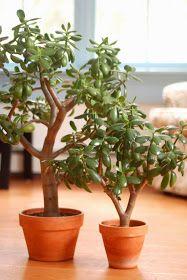 Little Yankee Homestead: Caring for Jade Plants
