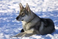 The Best Seven Dogs That Look Like Wolves- The Tamaskan Dog
