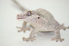 I love gargoyle geckos! I'm searching for a breeder right meow :) Zoo Animals, Animals And Pets, Cute Animals, Cute Reptiles, Reptiles And Amphibians, Paludarium, Vivarium, Pictures Of Reptiles, Geckos