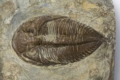 Dalmanites Myops trilobite fossil, Silurian Period. From the collections of Dudley Museums Service.