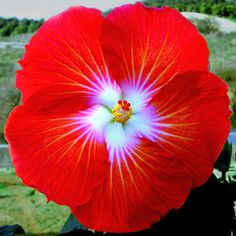 Hidden Valley Hibiscus ~ Hibiscus Pigments ~ Why do Hibiscus Flowers Change Colors?