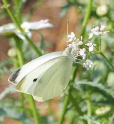 In-depth article discussing dealing with cabbage white butterflies. How to check for caterpillars, cabbage worms and what you can do to protect your plants. Garden Bugs, Garden Pests, Edible Garden, Organic Gardening, Gardening Tips, Weed Control, Bug Control, Growing Gardens, Butterfly Pictures