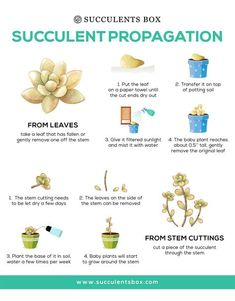 Propagation Propagation Propagation is nothing to be intimidated by! We have the tips and tricks to help you succeed! (: Vertical Succulent Garden The Secrets to Propagating Succulents Ebook Propagate Succulents From Leaves, How To Water Succulents, Baby Succulents, Types Of Succulents, Growing Succulents, Planting Flowers, Caring For Succulents Indoor, Replanting Succulents, Transplant Succulents