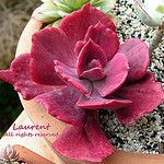 Echeveria diamond state