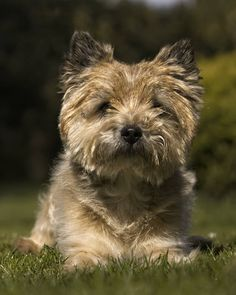 Cairn Terriers, Cairns, Little Dogs, Doggies, Dog Breeds, Dog Lovers, Animals, Little Puppies, Little Puppies