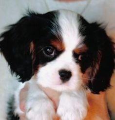 Awww baby Cavalier King Charles Spaniel! The eyes on this baby!