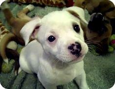 Australian Shepherd Boxer Mix Puppies Australian