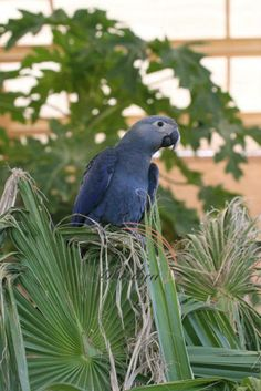 Spix's Macaw (Cyanopsitta spixii), also known as the Little Blue Macaw, is a Brazilian macaw and the only small blue macaw.