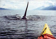 Five Day San Juan Island Kayak Expeditions: Orca Whale Watching Tours - Seattle Washington