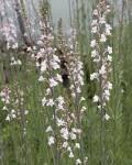 Linaria - Canon J Went - less invasive