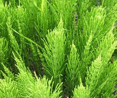 Horsetail is also known as Swamp Horsetail. This is a perennial grass. The Horsetail grass will grow well in wet conditions. Garden Weeds, Garden Plants, Shade Garden, Snake In The Grass, Help Hair Grow, Salud Natural, Herbaceous Perennials, Perennial Plant, Medicinal Plants